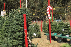 Cozzolino Christmas Trees